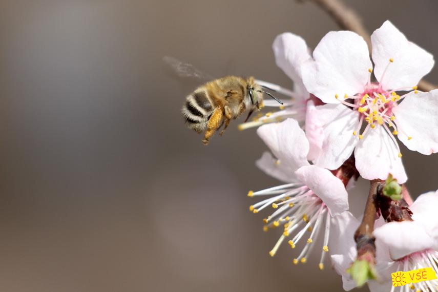 пчела и цветы абрикоса