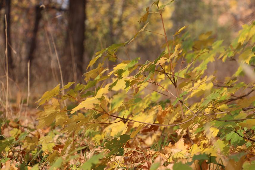 кленовая осень