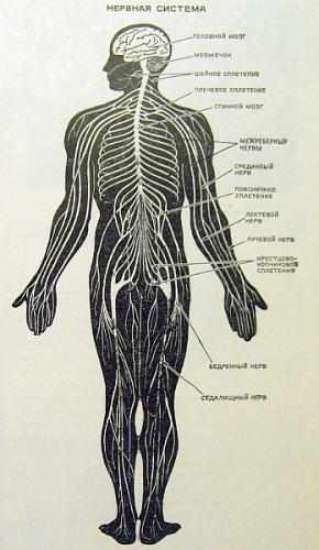 Вся нервная система человека (схема) .