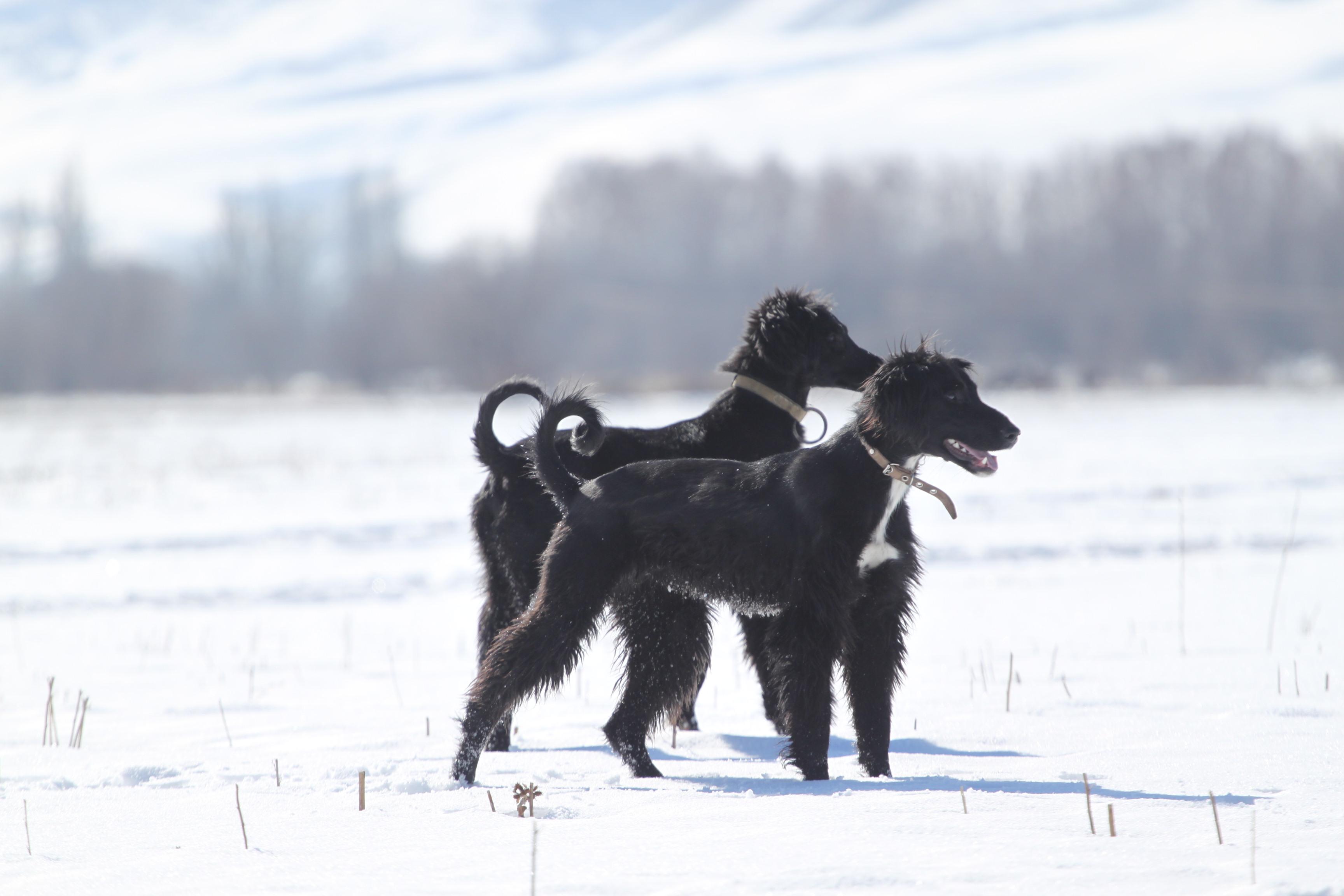 Крымские породы собак. Тайганы