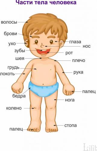 Части тела человека1.jpg