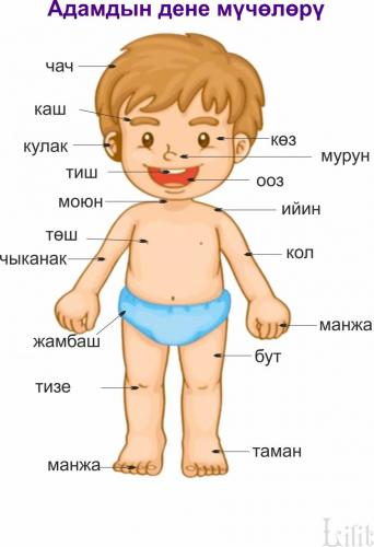Части тела человека.jpg