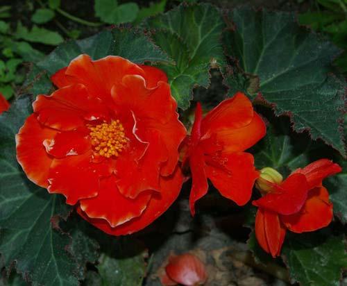 Посадка и уход цветка мурайя Мурайя - императорское дерево, настои из цветков и листьев.