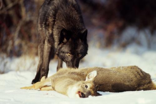 10-wolf-e1424297279175.jpg