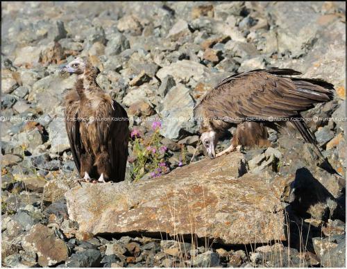 Vulture_ready_to_soar__1_.jpg